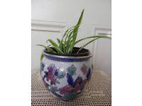 Young Spide plant Chlorophytum Small pendent House plant Blue enamel Pot