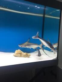 3 Large Pangasius Catfish Sharks