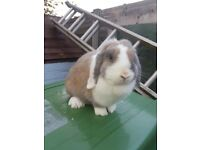 Beautiful adult mini lop does