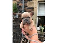 Stunning French bulldog puppy's from health tested parents