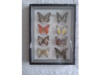 Framed and mounted butterflies from Asia