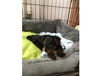 2 little boys yorkshire terrier for sale, ready in 1 week.