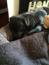 7 week old male staff for sale £300