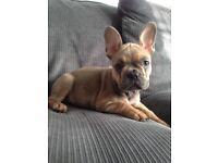 French bulldog puppy bitch