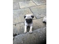 Beautiful KC registered fawn pug puppies.