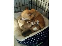 Chihuahua puppies available to reserve