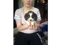 English Springer Spaniel Puppies (KC Registered) Liver & White