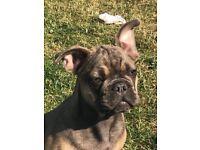 Male Bulldog For Sale