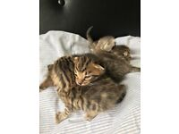 Part Bengal kittens ready to reserve