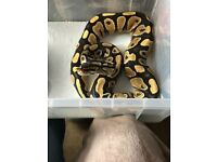 Male yellow belly ball python