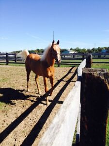 Selling a 5 year old AQHA Palomino Mare