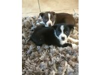COLLIE PUPS FOR SALE