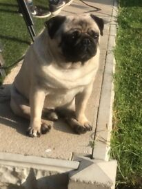 KC registered PUG Puppies 1 boy £1000 & 1 girl £1200