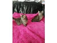 Persian Cross Turkish Angora kittens