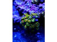 Bargain Zoas and sps and nuclear sunset mushroom