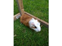 Guinea pig baby male