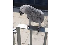 african grey parrot lost 3days ago in the walthamstow area in east london