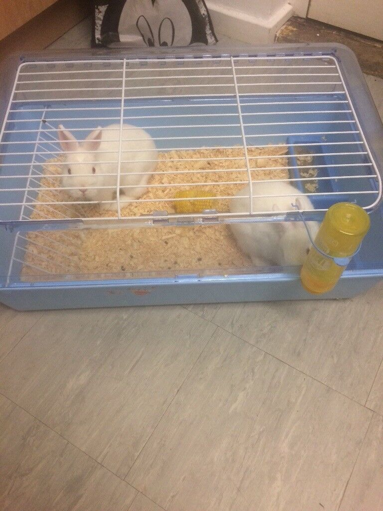 Albino Rabbits X2 (Including cage)