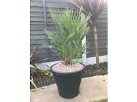 Large chamaerops palm plant
