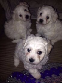 Maltese x Puppies