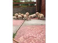 Labrador puppies ** 1 GIRL LEFT**