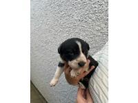 collie puppies pups 2 left!