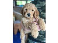 Golden Irish Doodle Pups Puppies!