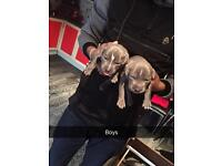 Blue staffy puppies (kc registered)