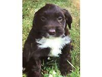 Cockerpoo puppy