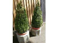 Pair of buxus in concrete pots