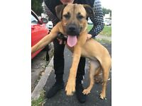 Beautiful 7 month old ridgeback cros needs a good home