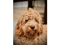 Cockapoo F1 Puppy. Male. Professionally trained. Apricot. 8 Months.