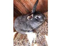 2x Female Rabbits