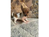 Last little jack boy puppy.