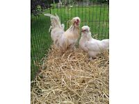 A pair of White Sultan Chickens