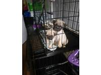 Pug puppies for sale Leeds