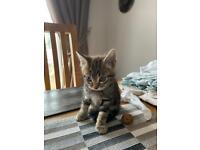 Tabby male kitten Collin 😻