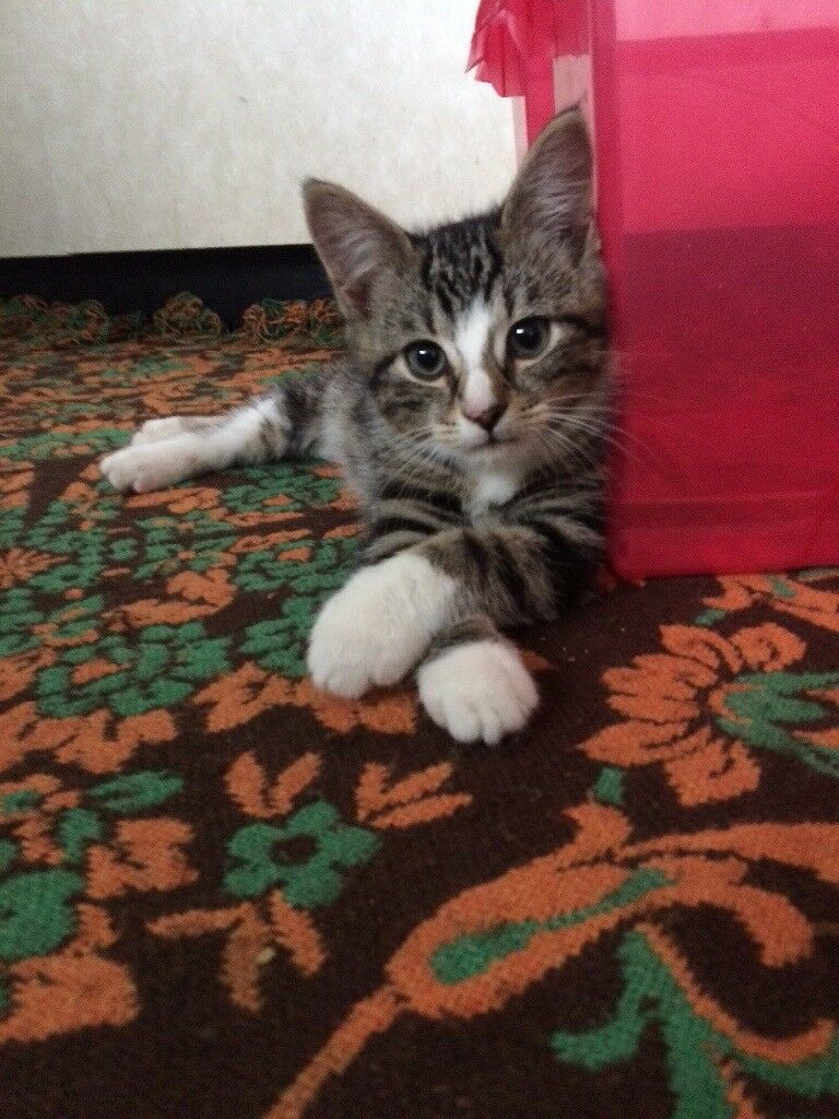 1/2 Maine Coon 1/2 tabby kittens for sale