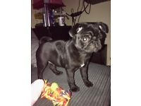 black female pug