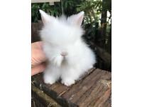 Beautiful lionhead baby boy rabbit