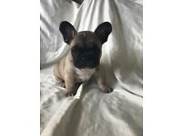 KC registered French Bulldog pups for sale