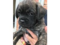 Pugapoo puppy (little boy )