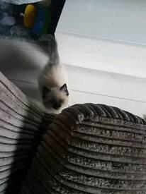 4 month old ragdoll