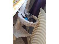 10 week male tabby kitten