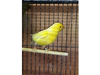 cock roller canary