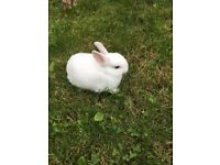 Beautiful Pure Netherland Dwarf Rabbit with blue eyes.