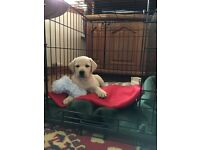 11 week old Labrador puppy for sale