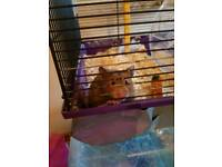 Female Syrian Hamster Need Gone ASAP!