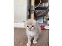 Pure breed ragdoll kittens (4 for sale)