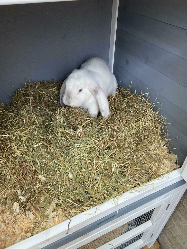 Rabbit and hutch for sale   in Plymouth, Devon   Gumtree